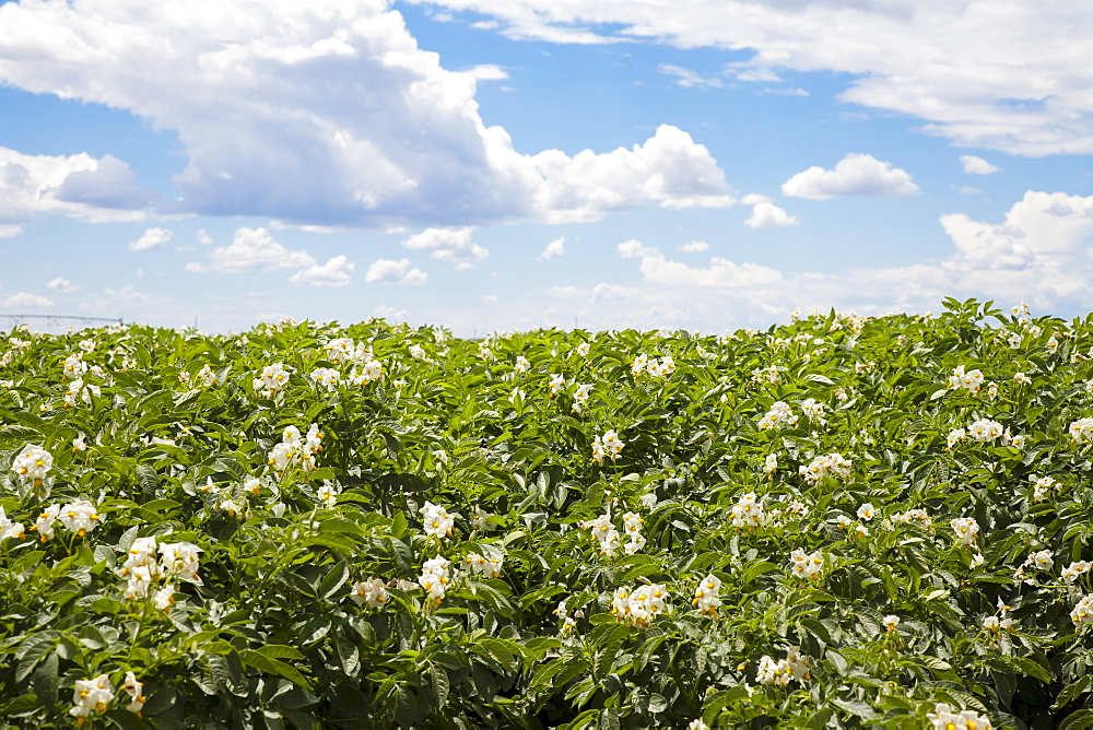 Flowering potato plants, Colorado, USA