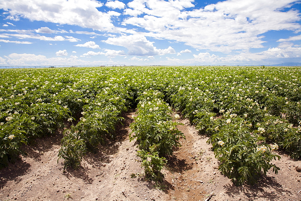 Field of potatoes, Colorado, USA