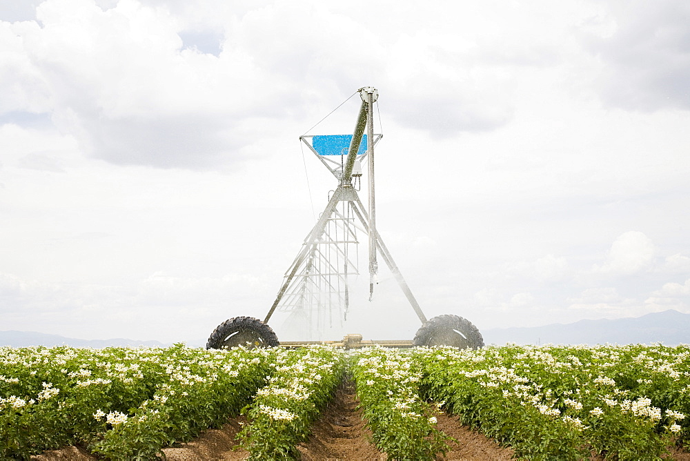 Sprinkler watering flowering potato plants, Colorado, USA