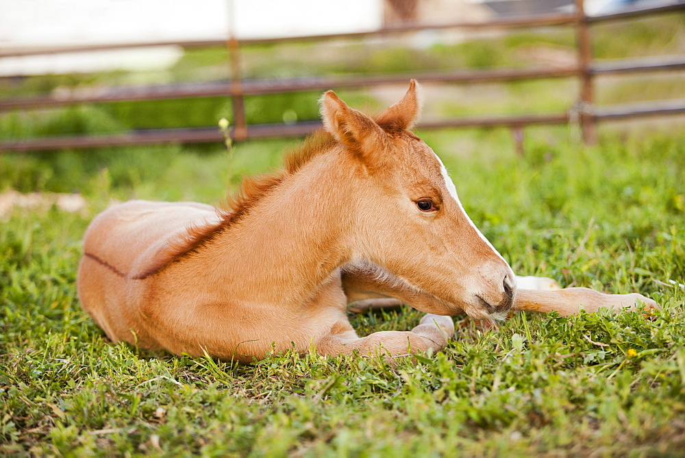 USA, Utah, Lehi, Foal lying on grass