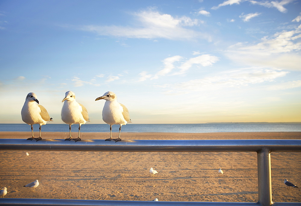 USA, New York City, Coney Island, three seagulls perched on railing