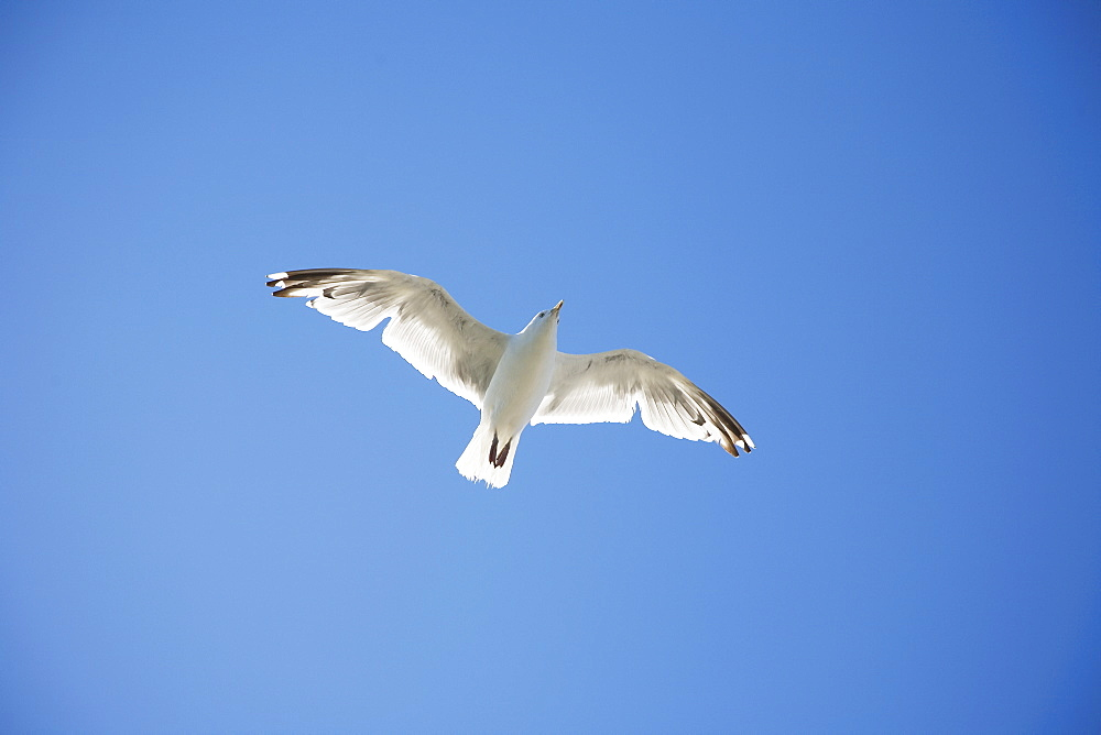 Herring Gull flying against blue sky