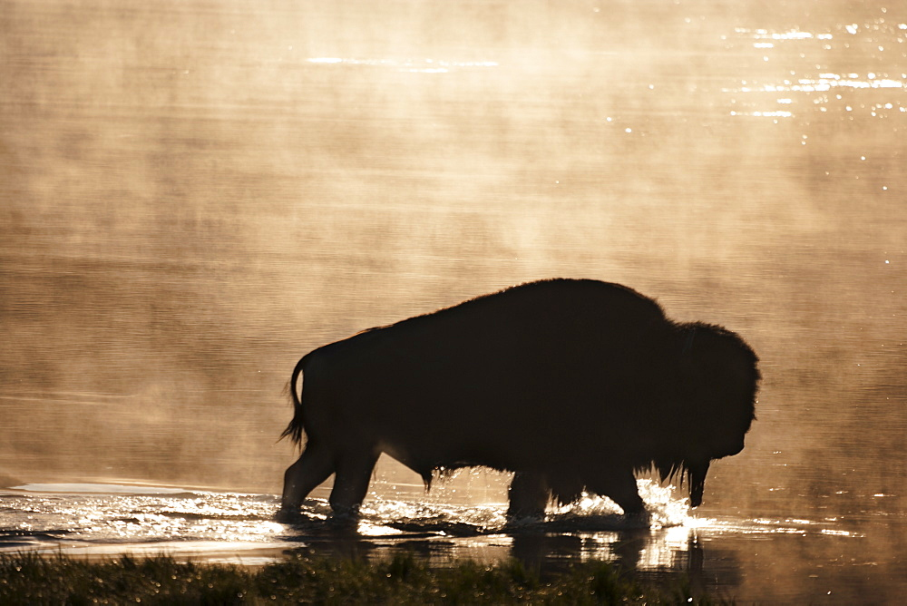 Silhouette of American Bison (Bison bison) wading in water at sunset