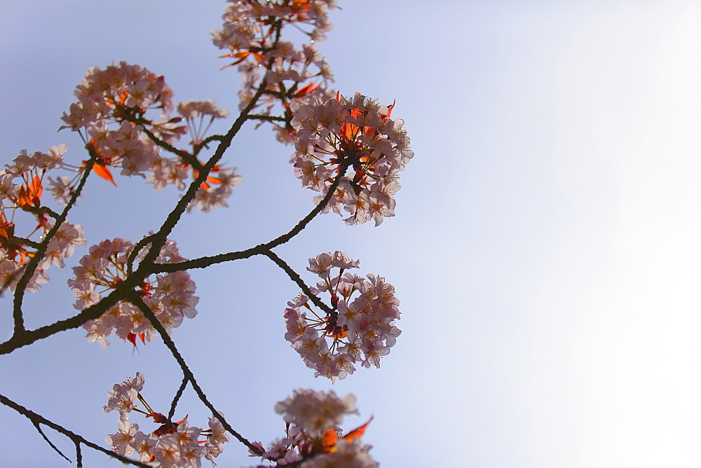 Blossoms on a Japanese cherry tree
