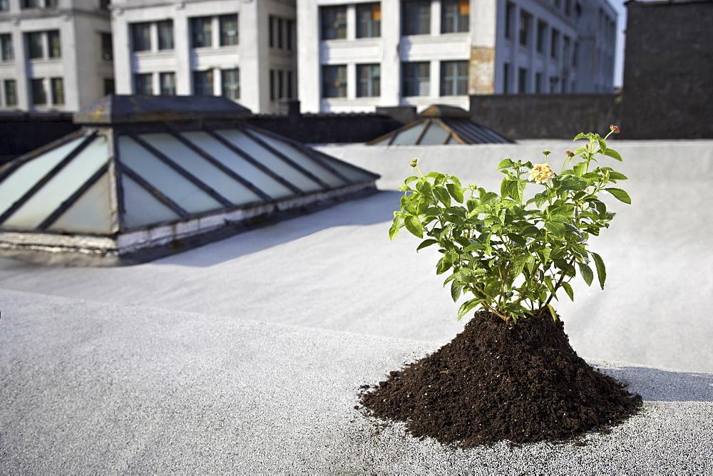 Aspen sapling on rooftop