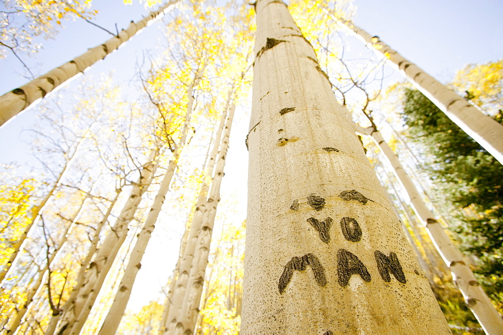 Carving on tree trunk in forest, Aspen, Colorado, USA