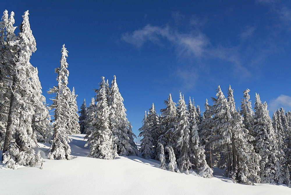 Snowcapped coniferous trees on hill, Oregon