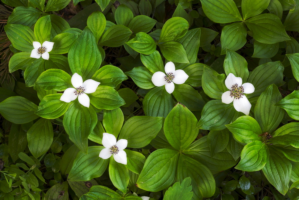 Close-up of white flowers with green leaves