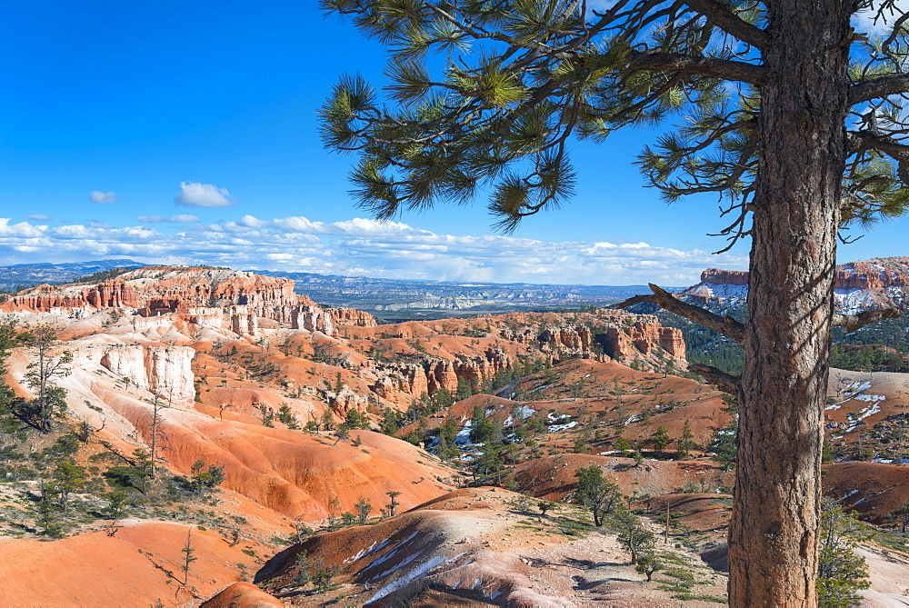 View of pine tree in Bryce Canyon, Bryce Canyon, Utah