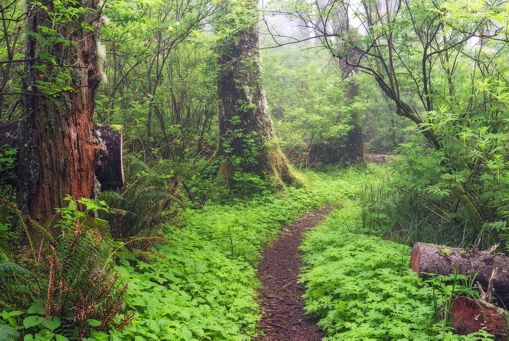 Footpath in forest, Cape Perpetua, Oregon