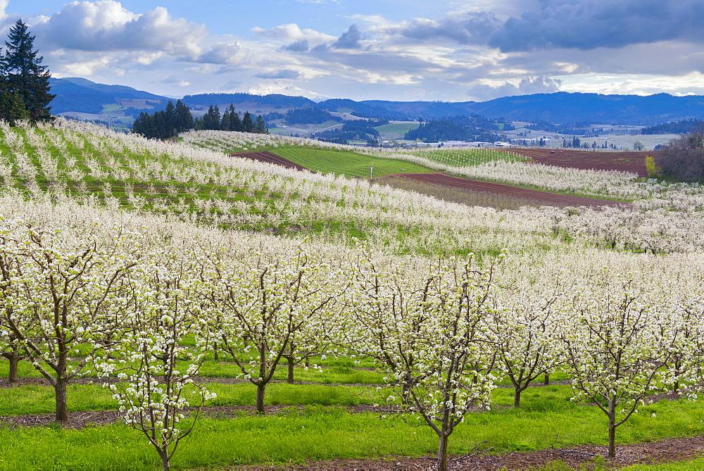Orchard during springtime, Hood River, Hood River, Oregon, USA
