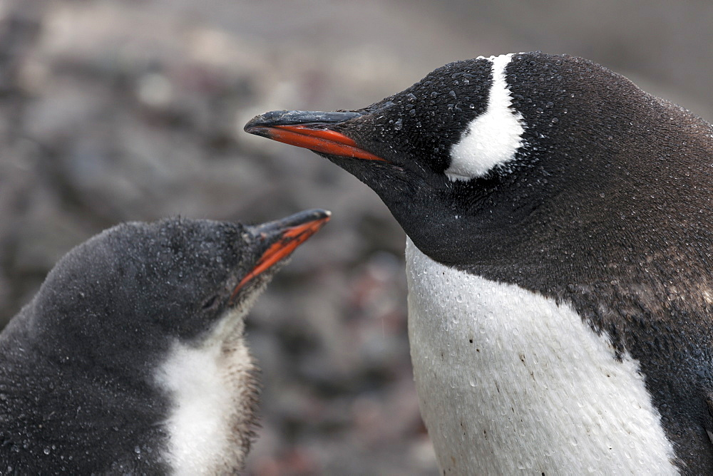 Close up of Gentoo Penguin with young, Antarctica, Antarctic Peninsula