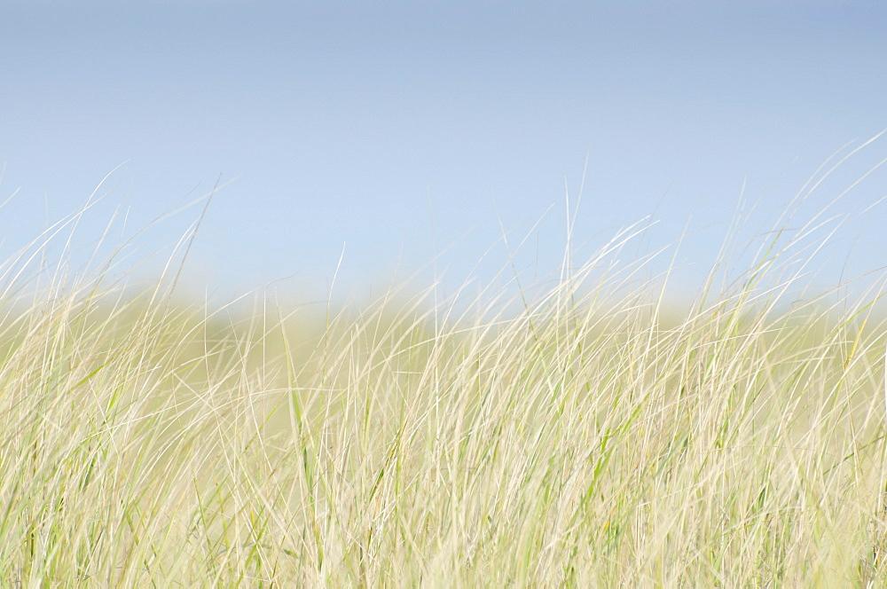 Dune Grass on empty sky, USA, Massachusetts, Nantucket