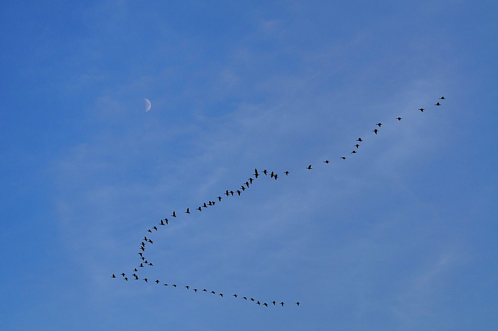 Geese in formation against moon