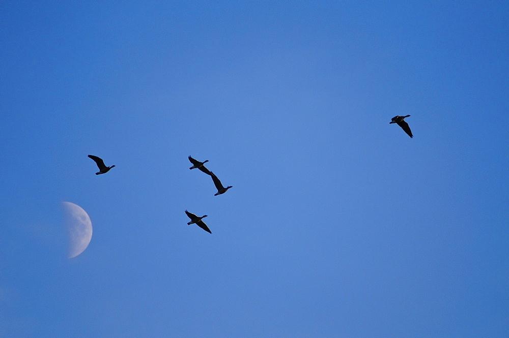 Geese against moon