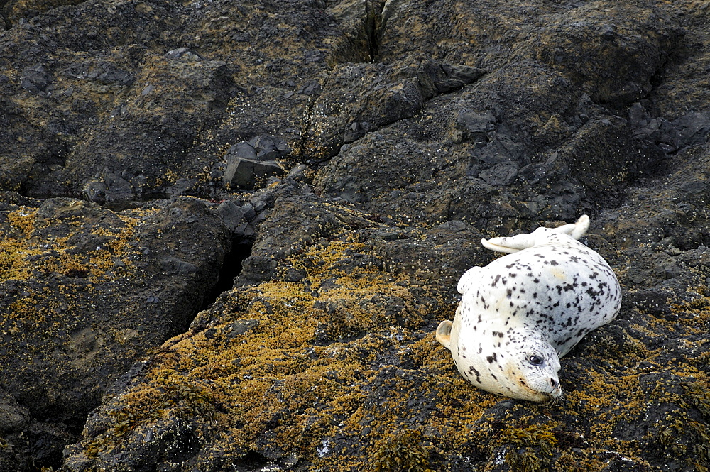 USA, Oregon, Lincoln County, Seal on rock