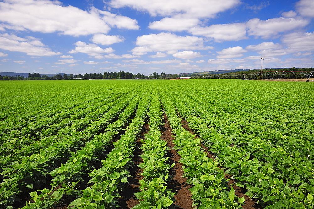 USA, Oregon, Marion County, Green bean field