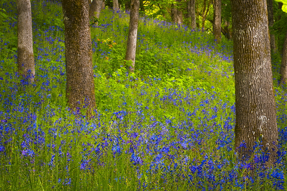 USA, Oregon, Salem, Wildflowers among oak trees