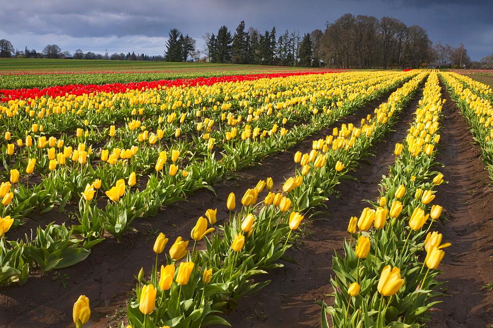 USA, Oregon, Wooden Shoe Tulip Farm