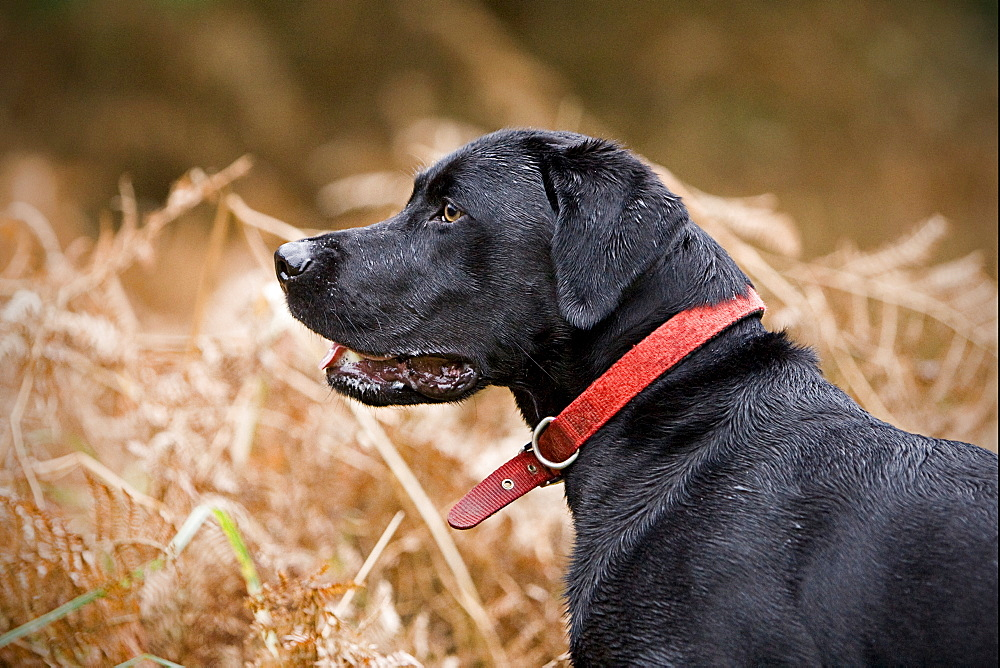 England, Suffolk, Black labrador in field, Thetford Forest