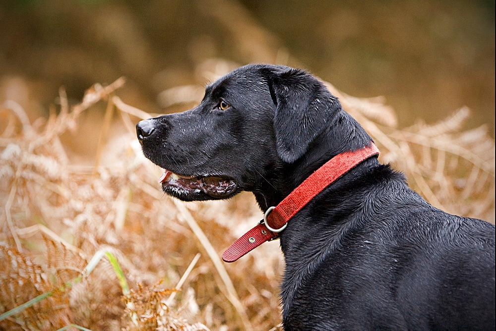 England, Suffolk, Black labrador in field, Thetford Forest