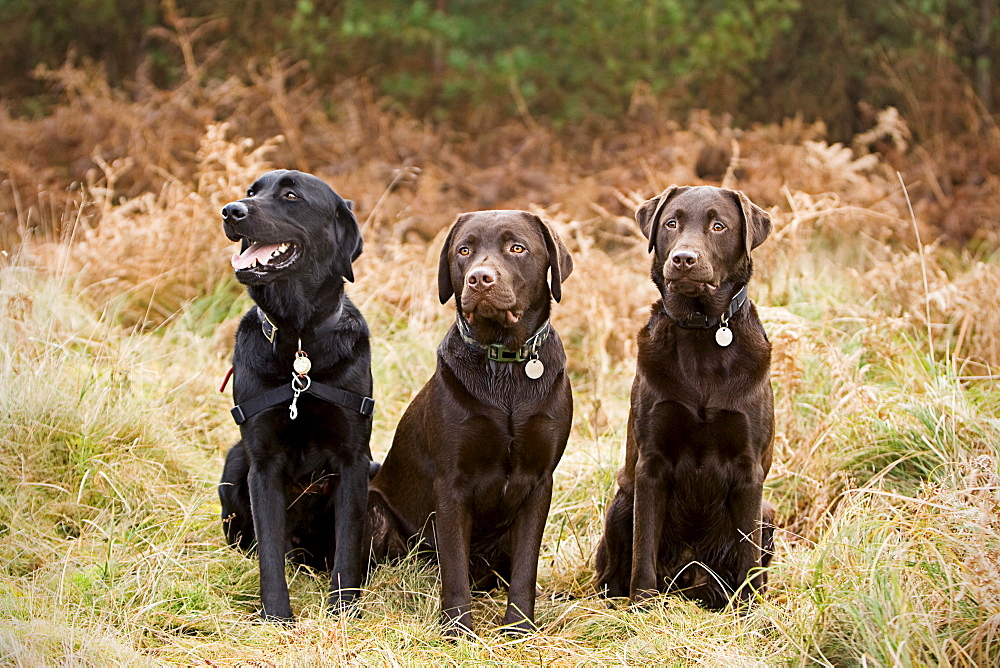 UK, Suffolk, Thetford Forest, Portrait of three chocolate labradors