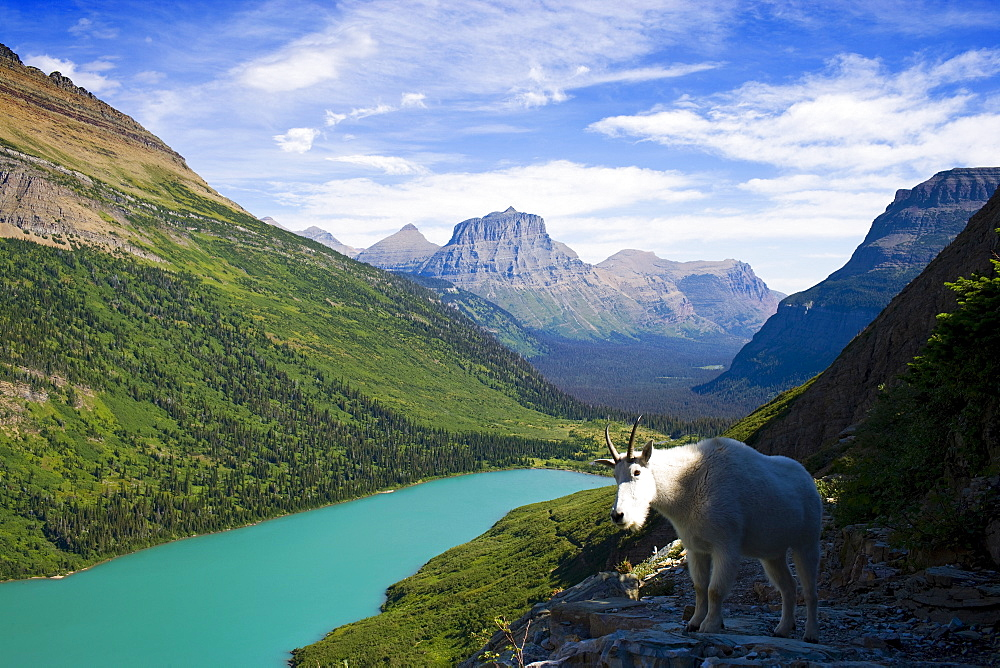 USA, Montana, Glacier National Park, Mountain goat, high angle view