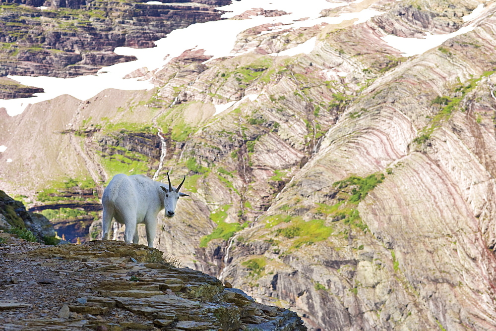 USA, Montana, Glacier National Park, Mountain goat looking at camera