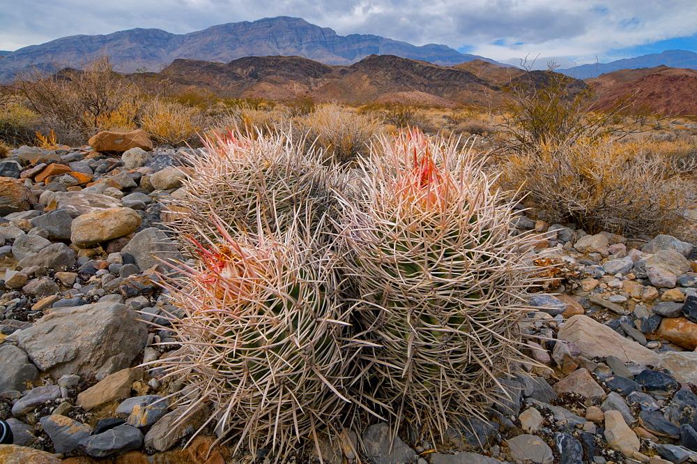 USA, California, Cactus in desert