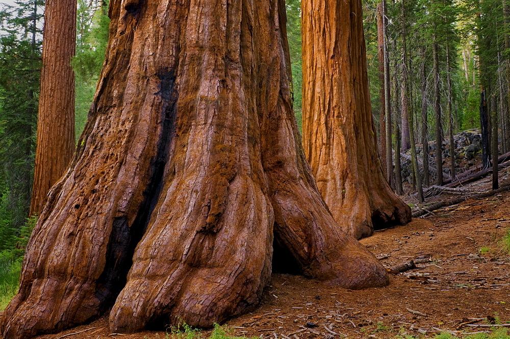 USA, California, Giant Sequoia tree