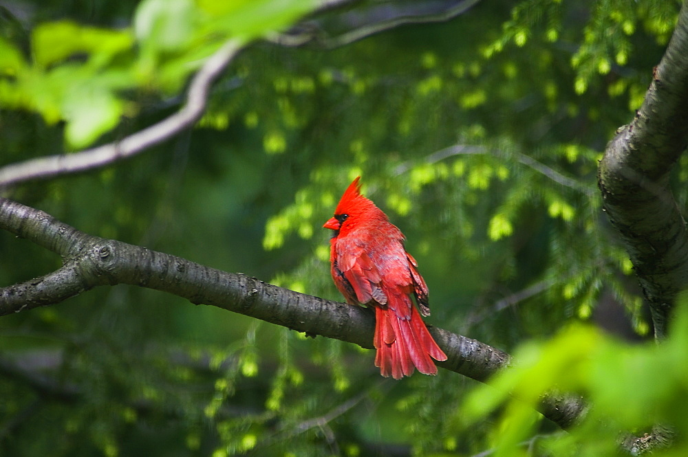 USA, Ohio, Cardinal on branch
