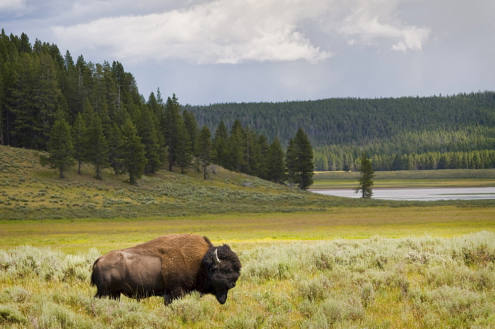 USA, Wyoming, Buffalo grazing on grass