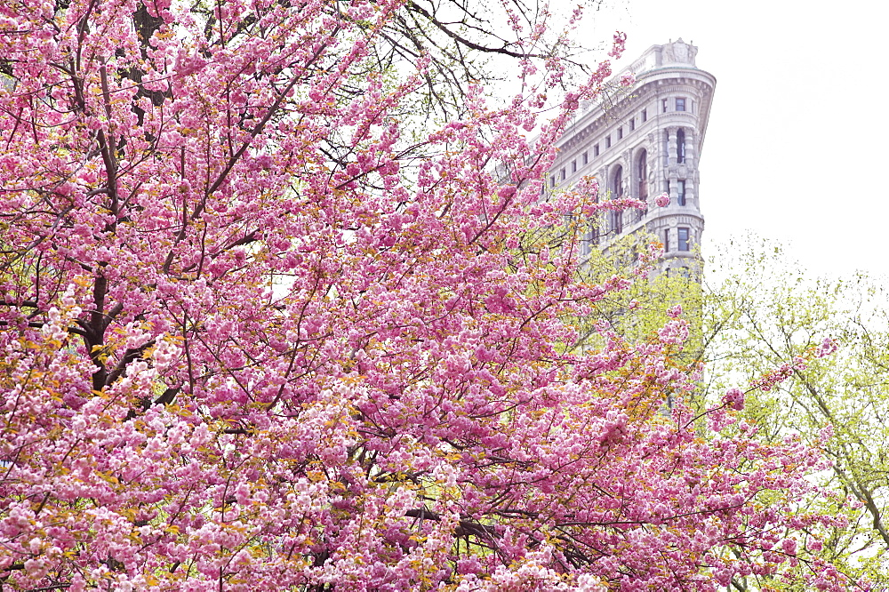 Cherry blossoms in front of a flat iron building