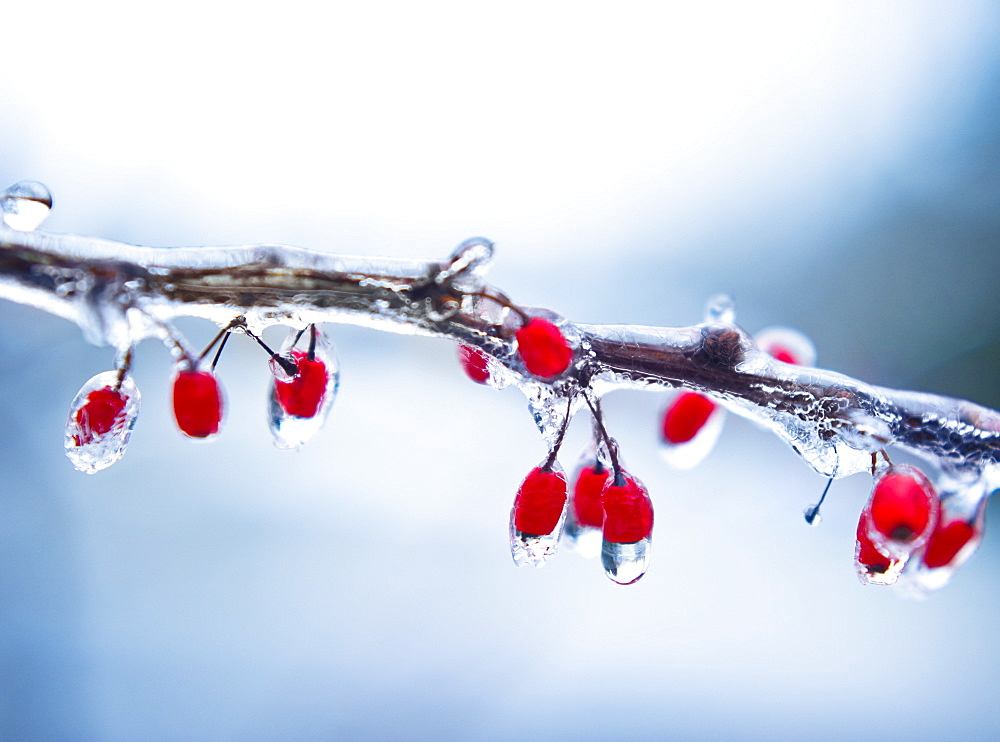 Icy holly branch