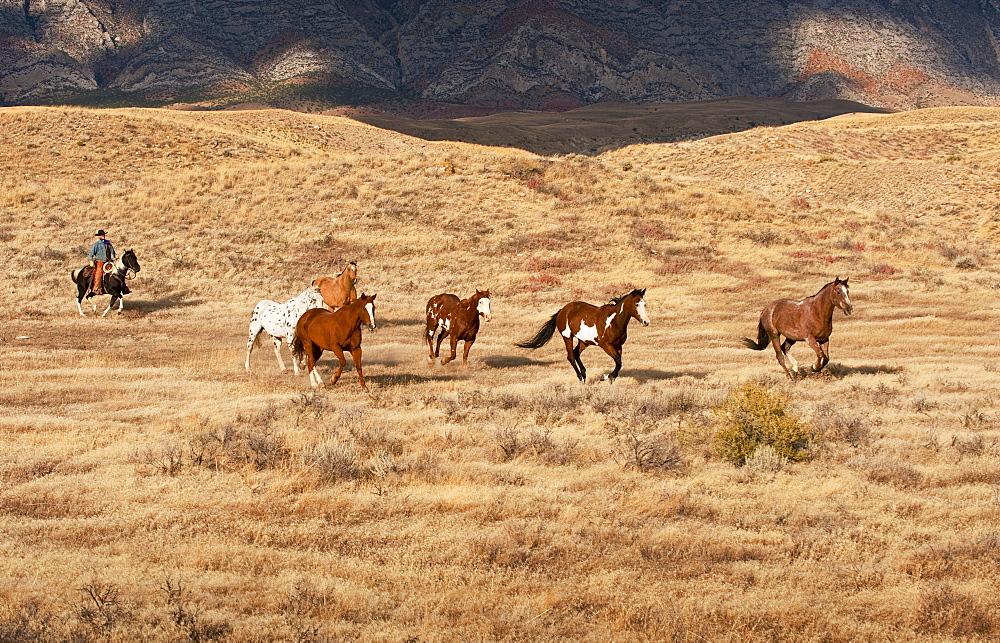 Cowboy herding wild horses