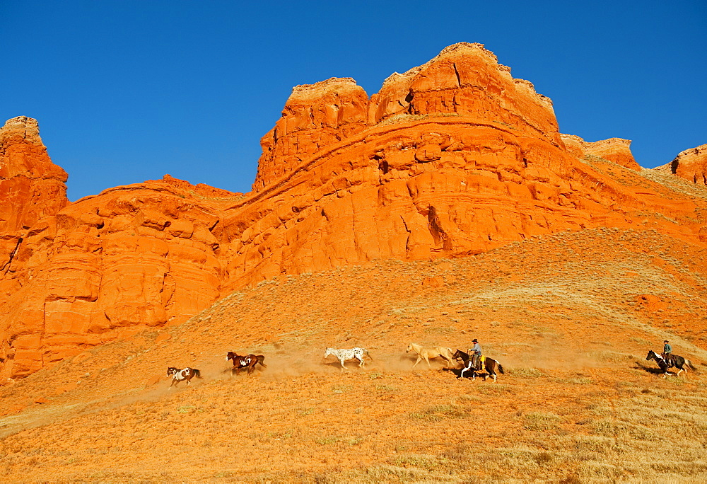 Cowboys herding wild horses