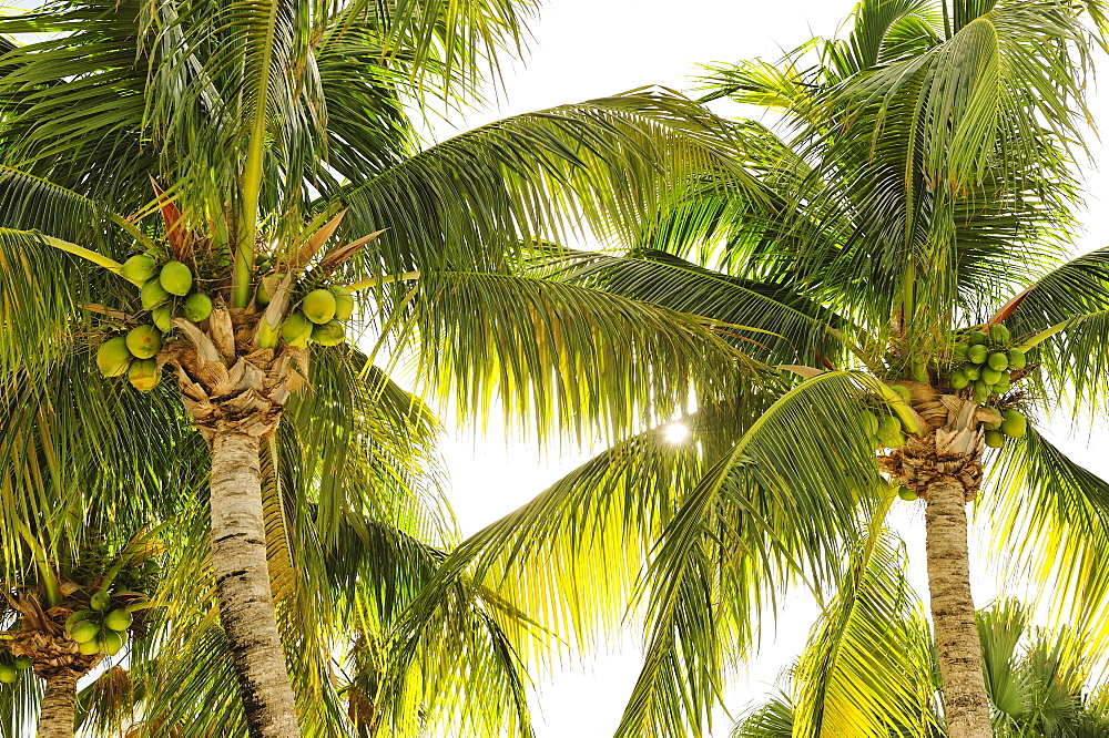 Coconuts in palm trees