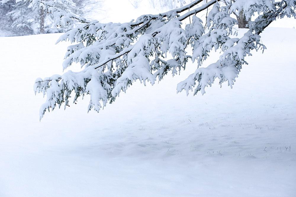 Snowy tree branch in winter