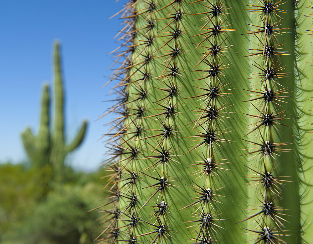 Close up of Saguaro Cactus, Saguaro National Park, Arizona