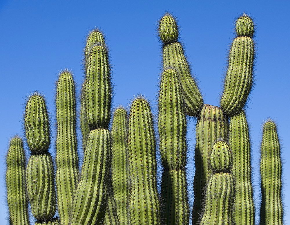 Organ Pipe Cactus against blue sky