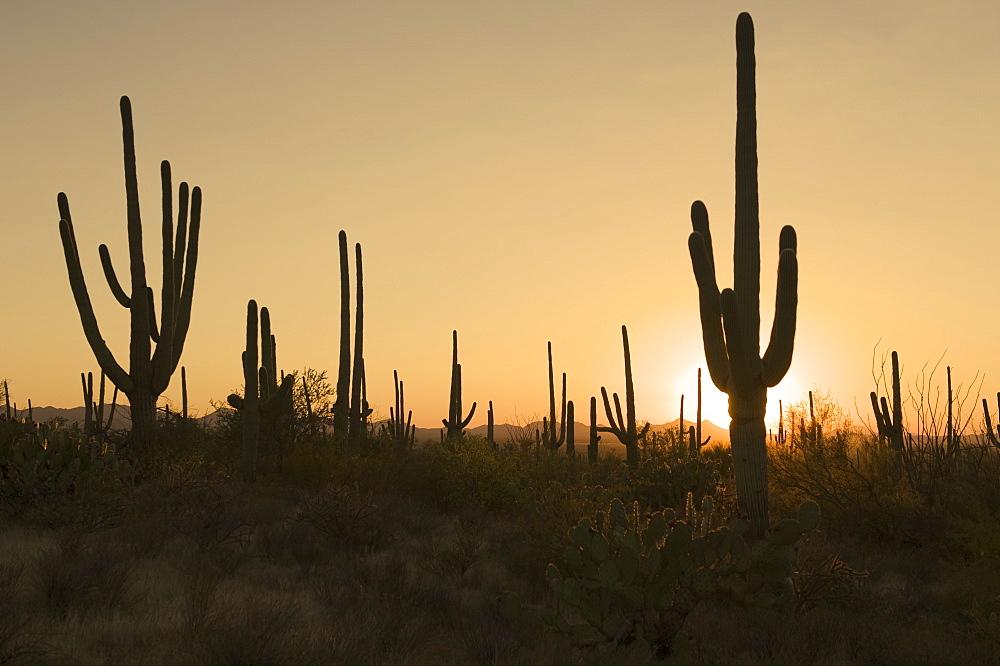 Sun behind cactus plants, Saguaro National Park, Arizona