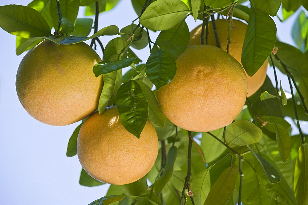 Close up of grapefruit on tree