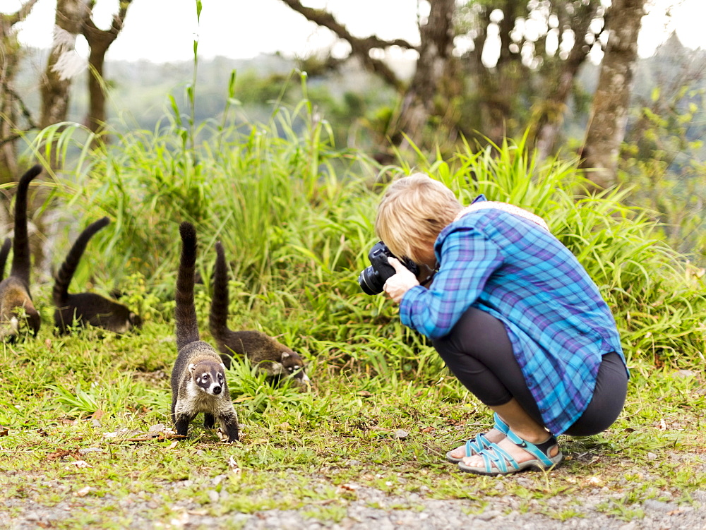 Woman taking photos of coatis living in the wild, Costa Rica