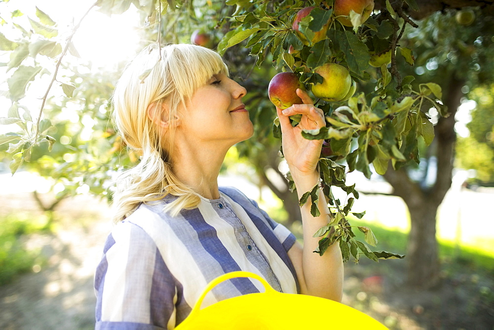 Woman picking apples in orchard, Salt Lake City, Utah