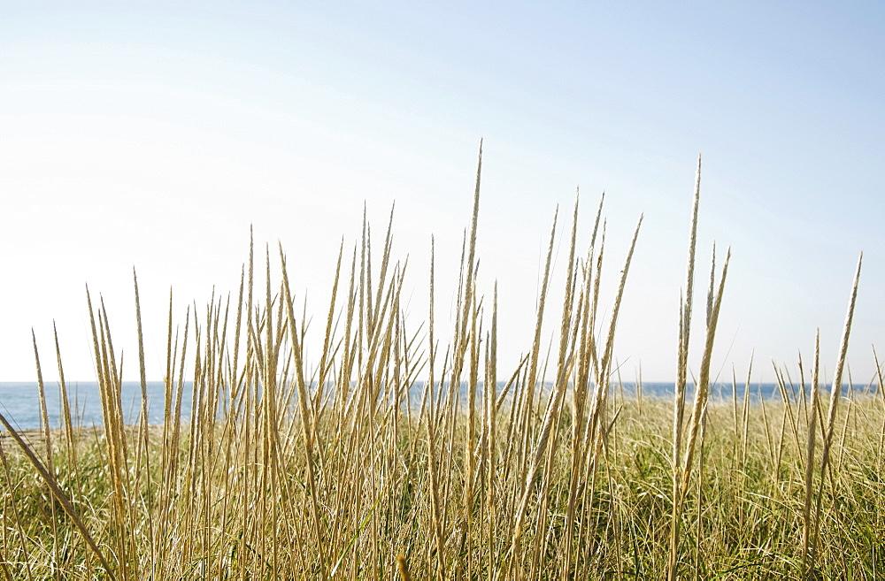 Dune grass on beach, Nantucket, Massachusetts, USA