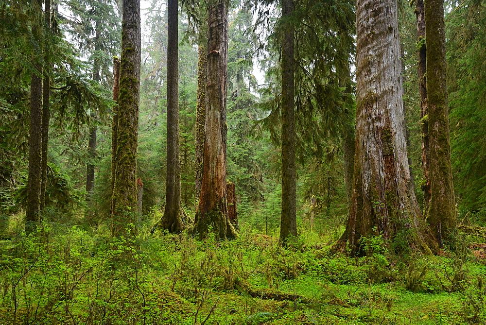 USA, Washington, Olympic National Park, Old trees in forest, USA, Washington, Olympic National Park