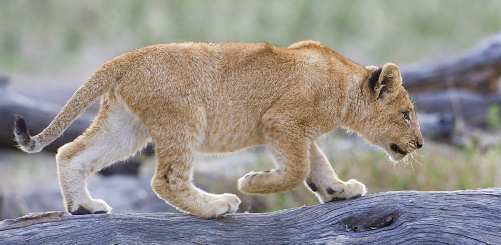 Lion cub walking on log