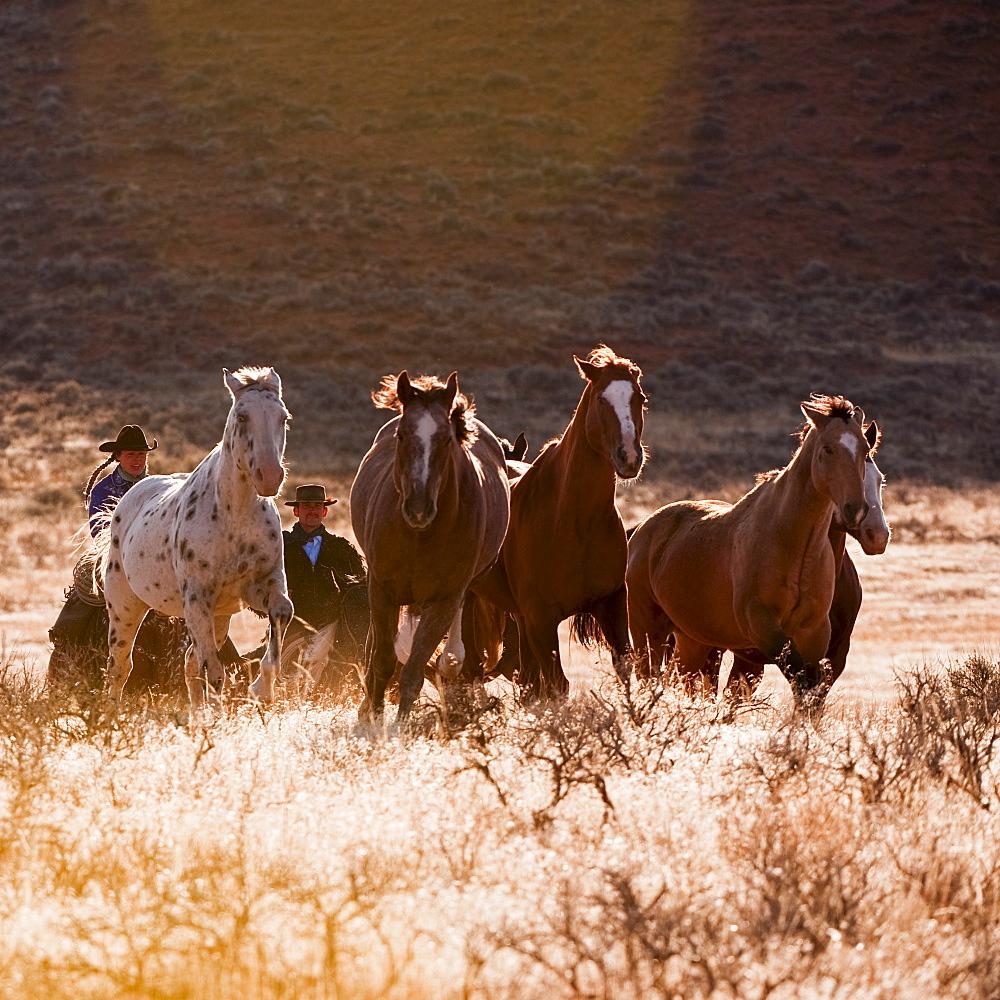 Cowboy herding horses