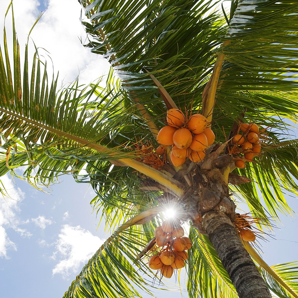 Coconuts in palm tree