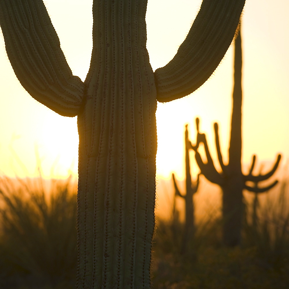 Close up of Saguaro cactus